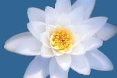 Lotus-white-cut-blue